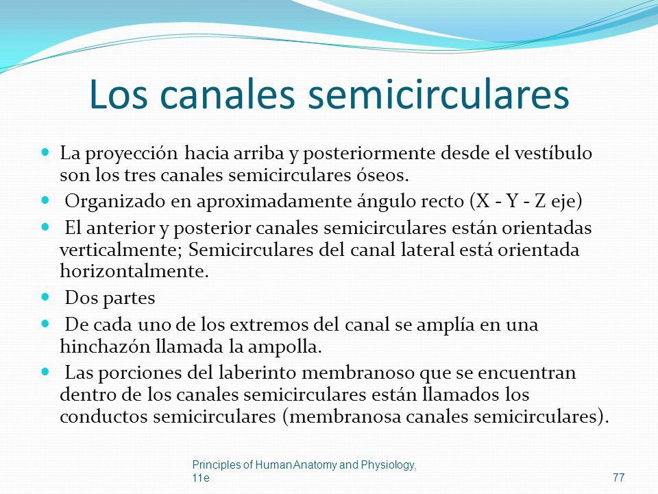 Los canales semicirculares La proyección hacia arriba y posteriormente desde el vestíbulo son los tres canales semicirculares óseos. Organizado en apr