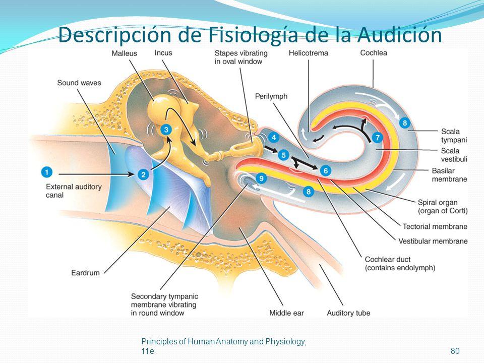 Descripción de Fisiología de la Audición Principles of Human Anatomy and Physiology, 11e80
