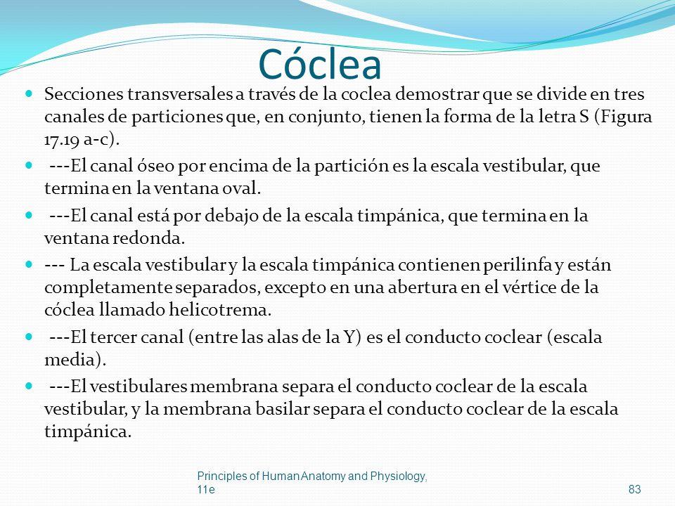 Cóclea Secciones transversales a través de la coclea demostrar que se divide en tres canales de particiones que, en conjunto, tienen la forma de la le