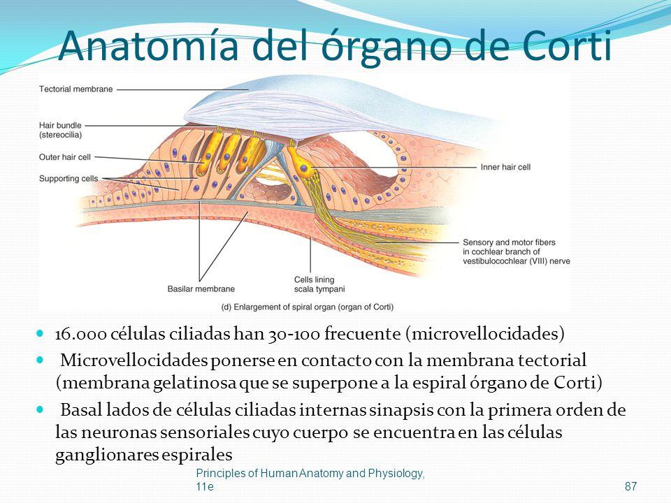Anatomía del órgano de Corti 16.000 células ciliadas han 30-100 frecuente (microvellocidades) Microvellocidades ponerse en contacto con la membrana te