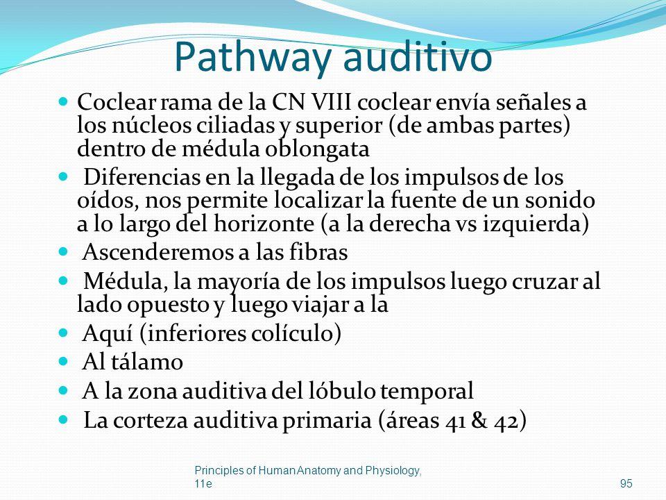 Pathway auditivo Coclear rama de la CN VIII coclear envía señales a los núcleos ciliadas y superior (de ambas partes) dentro de médula oblongata Difer