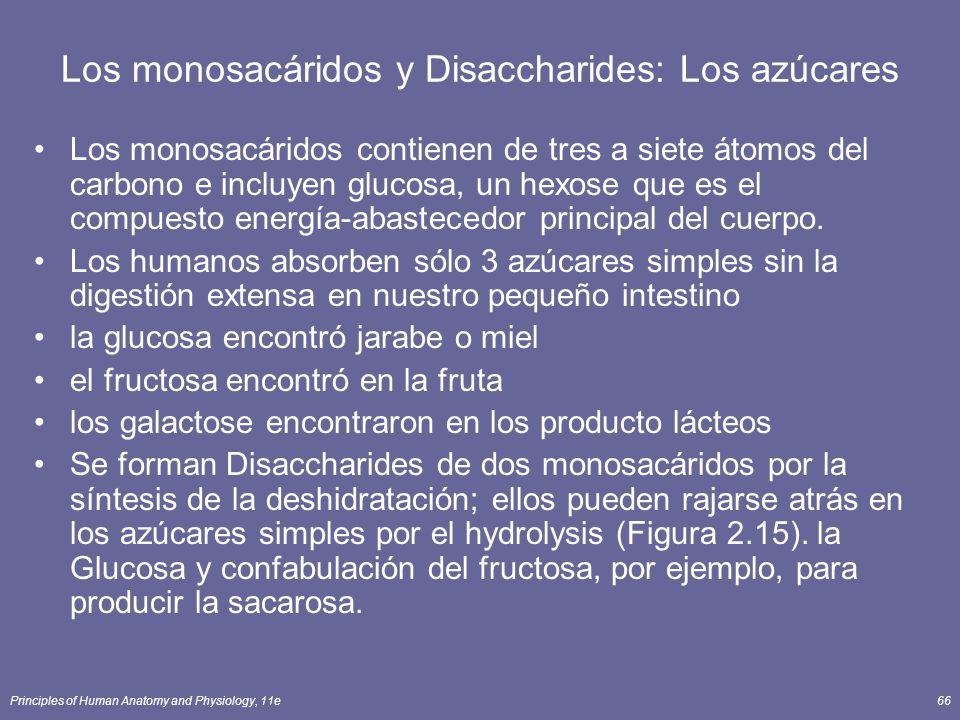 Principles of Human Anatomy and Physiology, 11e66 Los monosacáridos y Disaccharides: Los azúcares Los monosacáridos contienen de tres a siete átomos del carbono e incluyen glucosa, un hexose que es el compuesto energía-abastecedor principal del cuerpo.