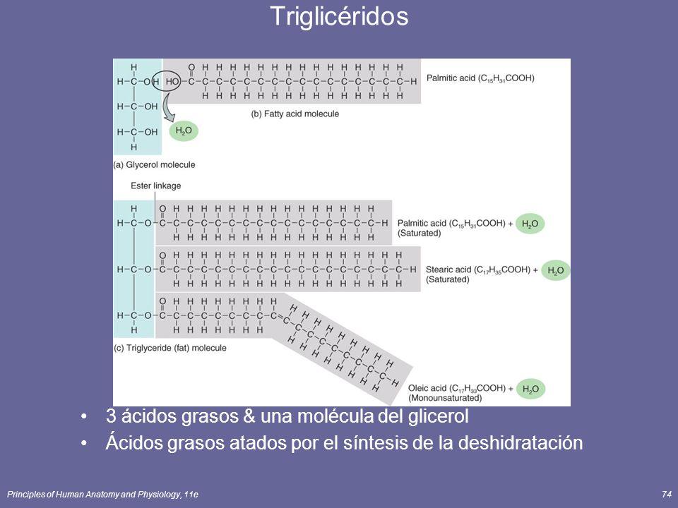Principles of Human Anatomy and Physiology, 11e74 Triglicéridos 3 ácidos grasos & una molécula del glicerol Ácidos grasos atados por el síntesis de la