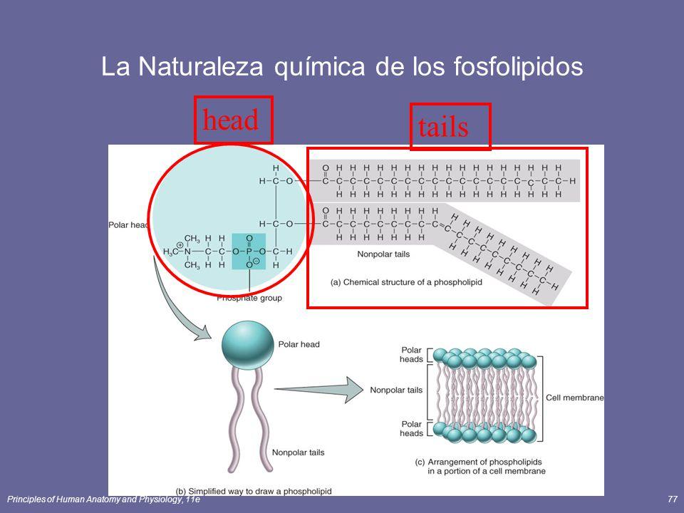Principles of Human Anatomy and Physiology, 11e77 La Naturaleza química de los fosfolipidos headtails