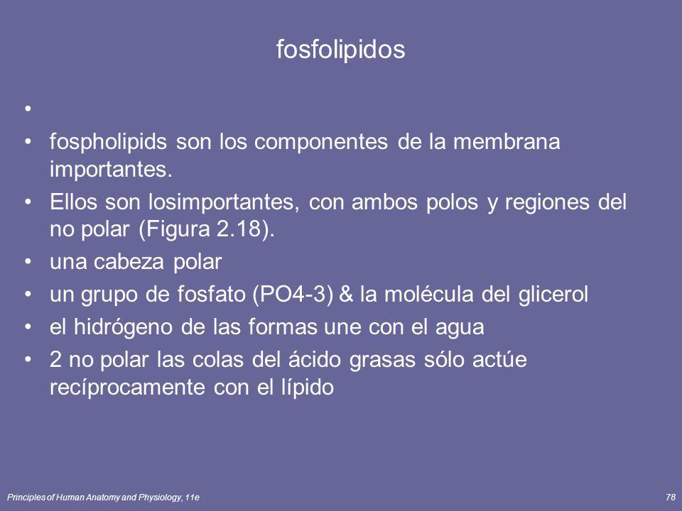 Principles of Human Anatomy and Physiology, 11e78 fosfolipidos fospholipids son los componentes de la membrana importantes.