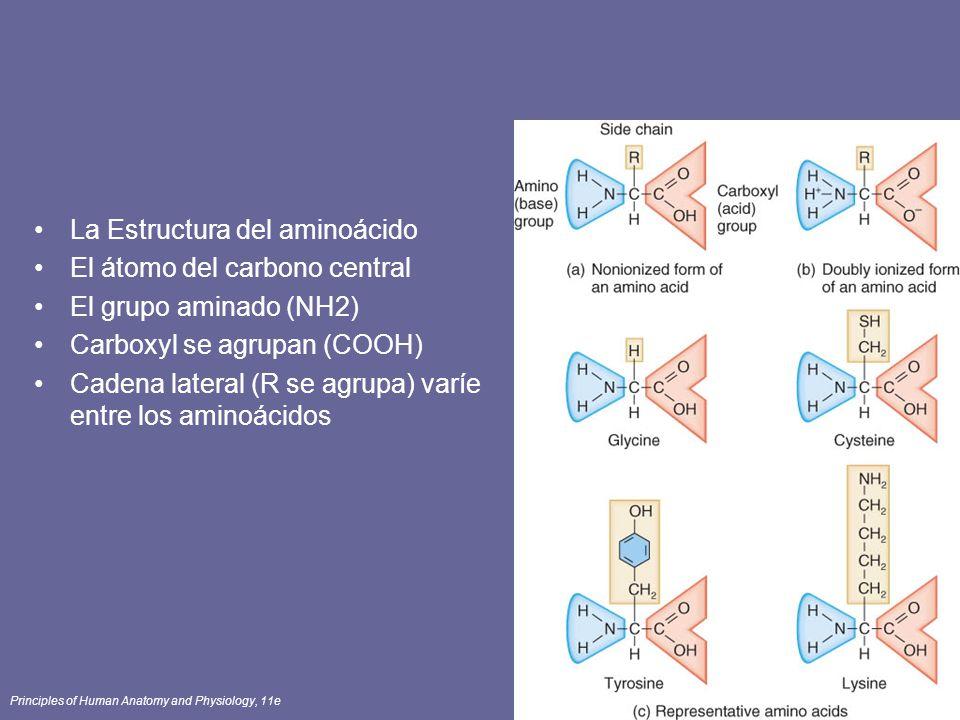 Principles of Human Anatomy and Physiology, 11e84 La Estructura del aminoácido El átomo del carbono central El grupo aminado (NH2) Carboxyl se agrupan (COOH) Cadena lateral (R se agrupa) varíe entre los aminoácidos
