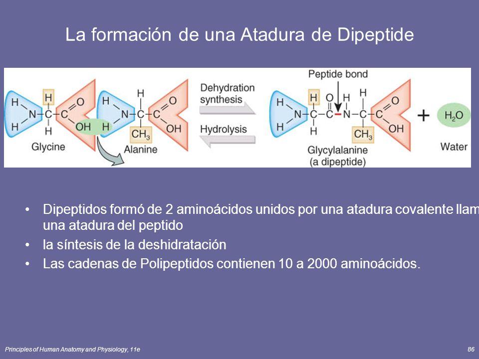 Principles of Human Anatomy and Physiology, 11e86 La formación de una Atadura de Dipeptide Dipeptidos formó de 2 aminoácidos unidos por una atadura covalente llamó una atadura del peptido la síntesis de la deshidratación Las cadenas de Polipeptidos contienen 10 a 2000 aminoácidos.