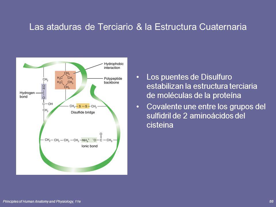 Principles of Human Anatomy and Physiology, 11e88 Las ataduras de Terciario & la Estructura Cuaternaria Los puentes de Disulfuro estabilizan la estructura terciaria de moléculas de la proteína Covalente une entre los grupos del sulfidril de 2 aminoácidos del cisteina