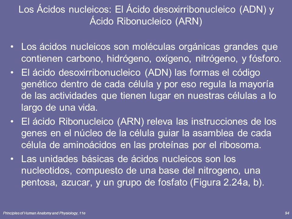 Principles of Human Anatomy and Physiology, 11e94 Los Ácidos nucleicos: El Ácido desoxirribonucleico (ADN) y Ácido Ribonucleico (ARN) Los ácidos nucleicos son moléculas orgánicas grandes que contienen carbono, hidrógeno, oxígeno, nitrógeno, y fósforo.