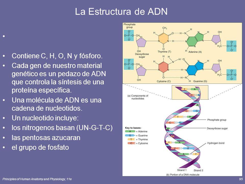 Principles of Human Anatomy and Physiology, 11e95 La Estructura de ADN Contiene C, H, O, N y fósforo. Cada gen de nuestro material genético es un peda