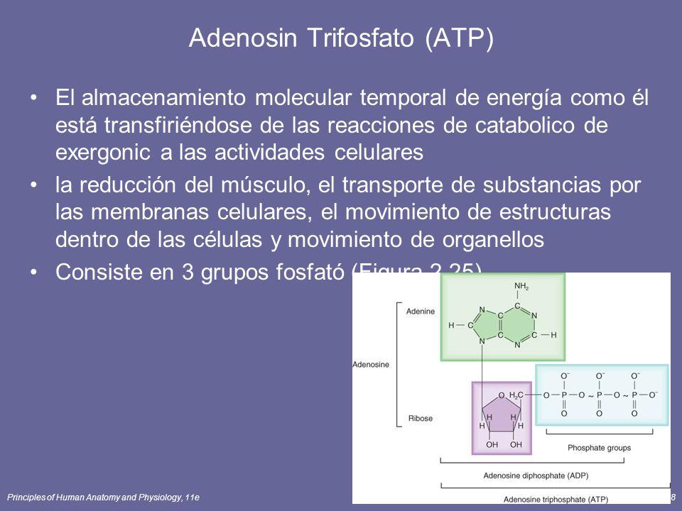 Principles of Human Anatomy and Physiology, 11e98 Adenosin Trifosfato (ATP) El almacenamiento molecular temporal de energía como él está transfiriéndose de las reacciones de catabolico de exergonic a las actividades celulares la reducción del músculo, el transporte de substancias por las membranas celulares, el movimiento de estructuras dentro de las células y movimiento de organellos Consiste en 3 grupos fosfató (Figura 2.25).