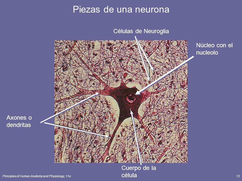 Principles of Human Anatomy and Physiology, 11e13 Núcleo con el nucleolo Piezas de una neurona Axones o dendritas Cuerpo de la célula Células de Neuro