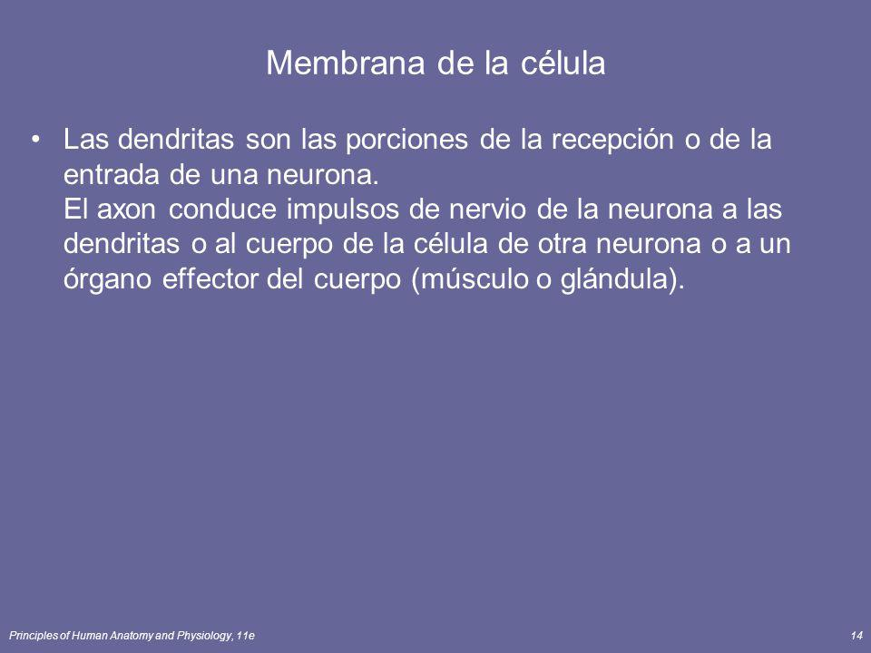 Principles of Human Anatomy and Physiology, 11e14 Membrana de la célula Las dendritas son las porciones de la recepción o de la entrada de una neurona