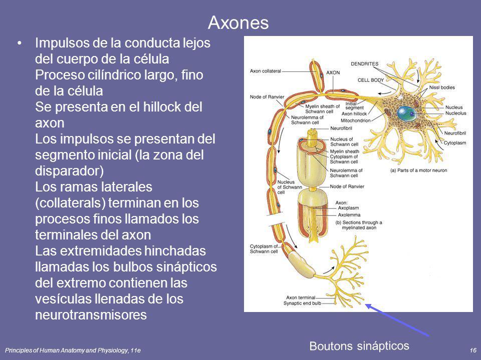 Principles of Human Anatomy and Physiology, 11e16 Axones Impulsos de la conducta lejos del cuerpo de la célula Proceso cilíndrico largo, fino de la cé