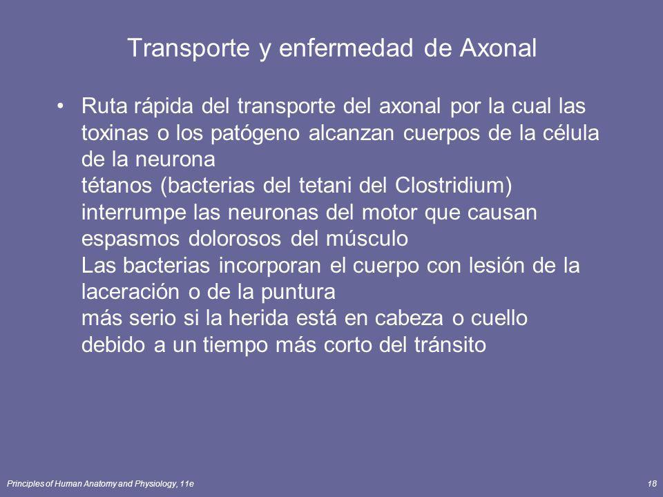 Principles of Human Anatomy and Physiology, 11e18 Transporte y enfermedad de Axonal Ruta rápida del transporte del axonal por la cual las toxinas o lo