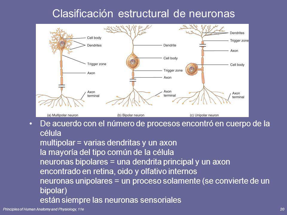 Principles of Human Anatomy and Physiology, 11e20 Clasificación estructural de neuronas De acuerdo con el número de procesos encontró en cuerpo de la