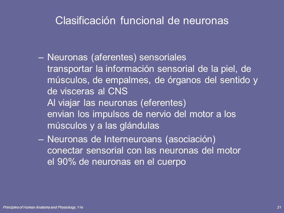Principles of Human Anatomy and Physiology, 11e21 Clasificación funcional de neuronas –Neuronas (aferentes) sensoriales transportar la información sen