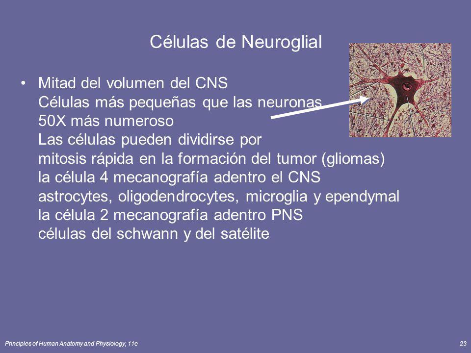 Principles of Human Anatomy and Physiology, 11e23 Mitad del volumen del CNS Células más pequeñas que las neuronas 50X más numeroso Las células pueden