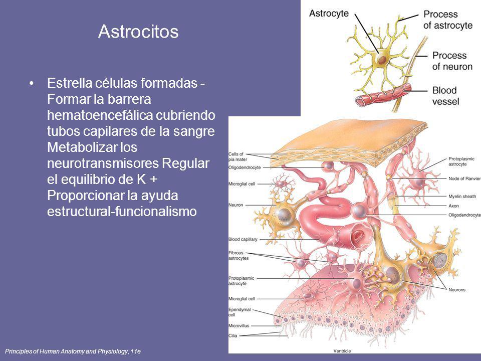 Principles of Human Anatomy and Physiology, 11e24 Astrocitos Estrella células formadas - Formar la barrera hematoencefálica cubriendo tubos capilares