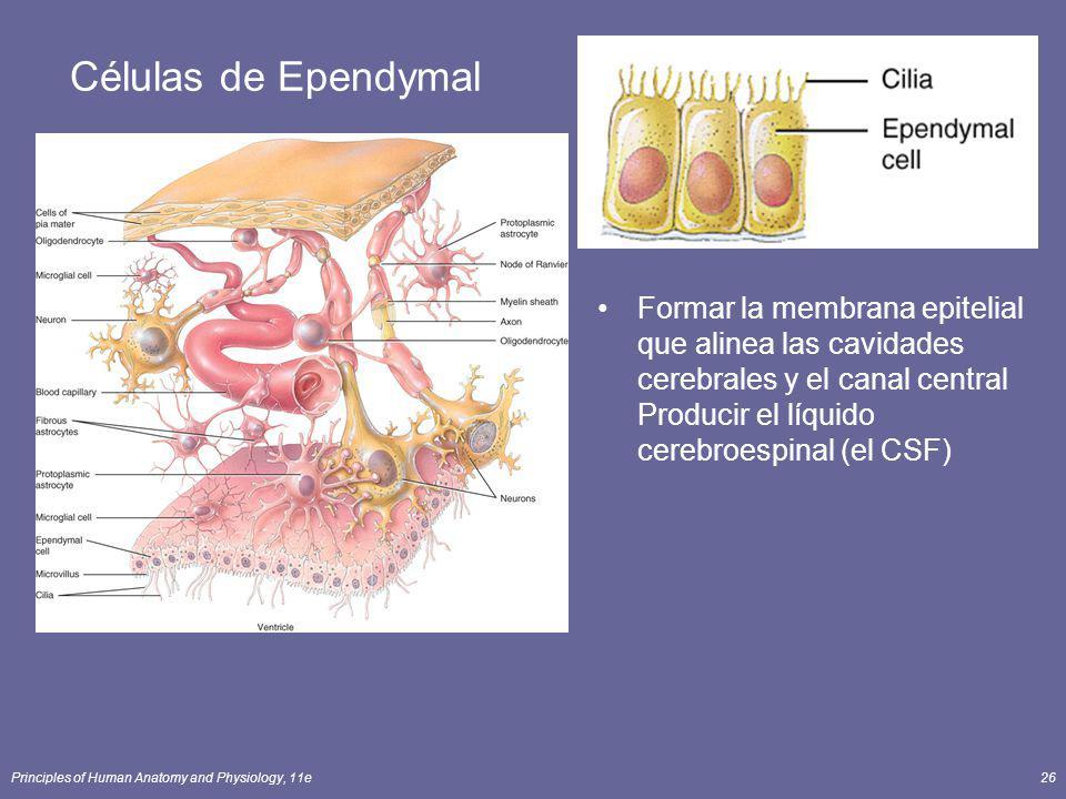 Principles of Human Anatomy and Physiology, 11e26 Células de Ependymal Formar la membrana epitelial que alinea las cavidades cerebrales y el canal cen