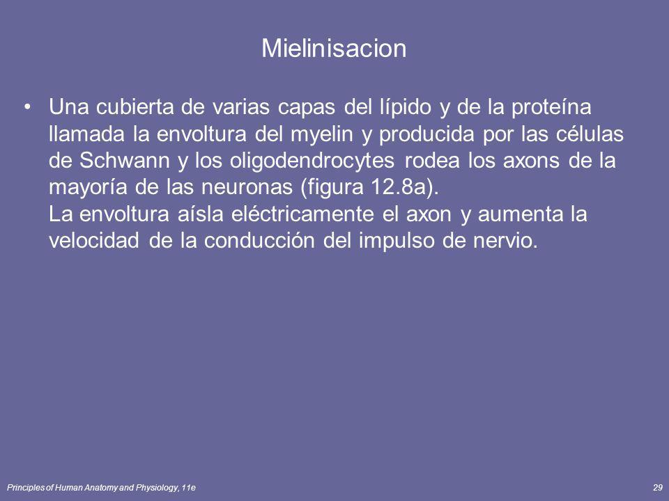Principles of Human Anatomy and Physiology, 11e29 Mielinisacion Una cubierta de varias capas del lípido y de la proteína llamada la envoltura del myel