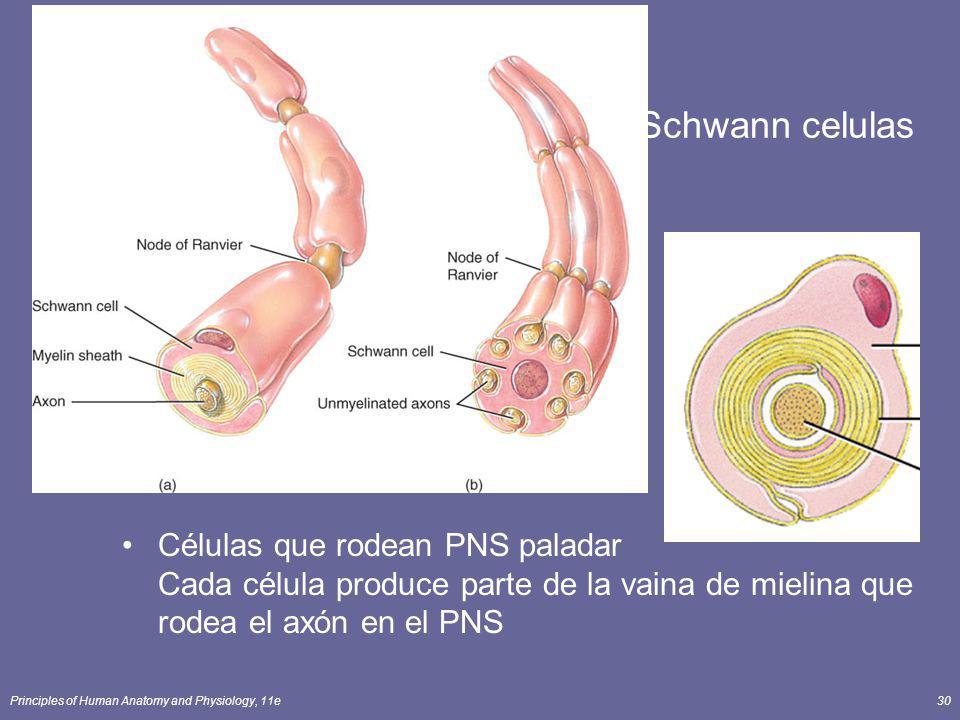 Principles of Human Anatomy and Physiology, 11e30 Schwann celulas Células que rodean PNS paladar Cada célula produce parte de la vaina de mielina que