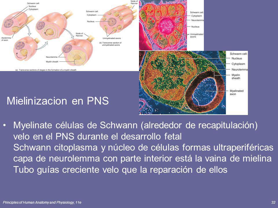 Principles of Human Anatomy and Physiology, 11e32 Mielinizacion en PNS Myelinate células de Schwann (alrededor de recapitulación) velo en el PNS duran