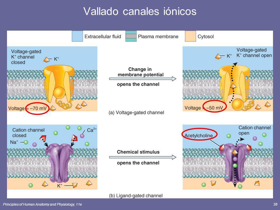 Principles of Human Anatomy and Physiology, 11e38 Vallado canales iónicos