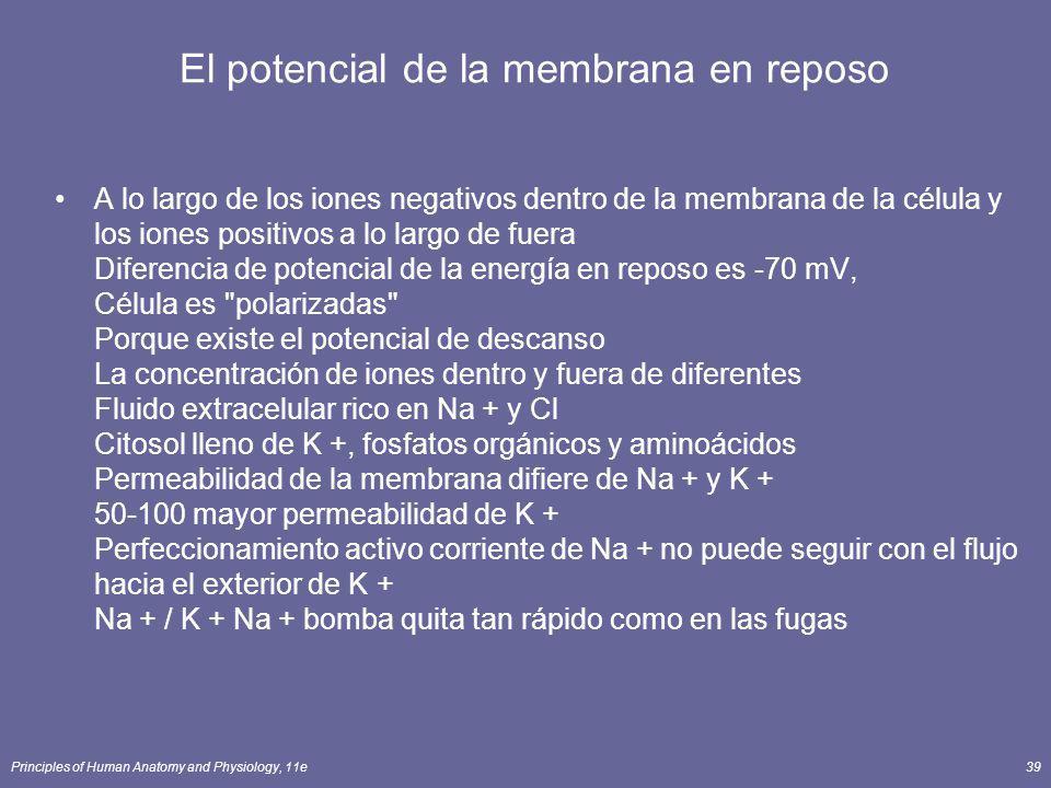 Principles of Human Anatomy and Physiology, 11e39 El potencial de la membrana en reposo A lo largo de los iones negativos dentro de la membrana de la