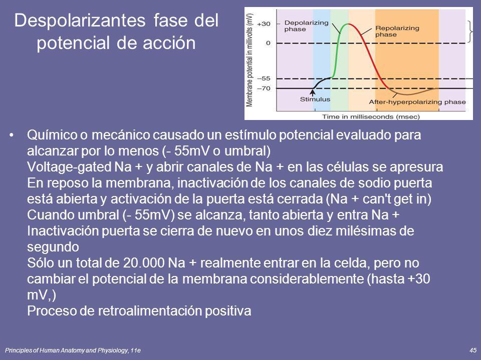 Principles of Human Anatomy and Physiology, 11e45 Despolarizantes fase del potencial de acción Químico o mecánico causado un estímulo potencial evalua