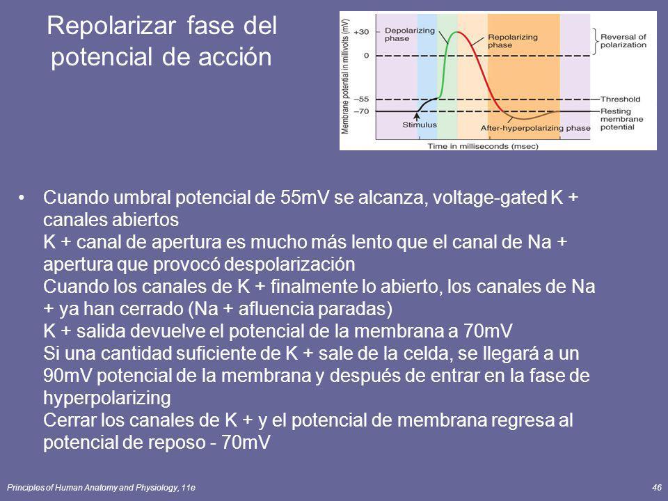 Principles of Human Anatomy and Physiology, 11e46 Repolarizar fase del potencial de acción Cuando umbral potencial de 55mV se alcanza, voltage-gated K