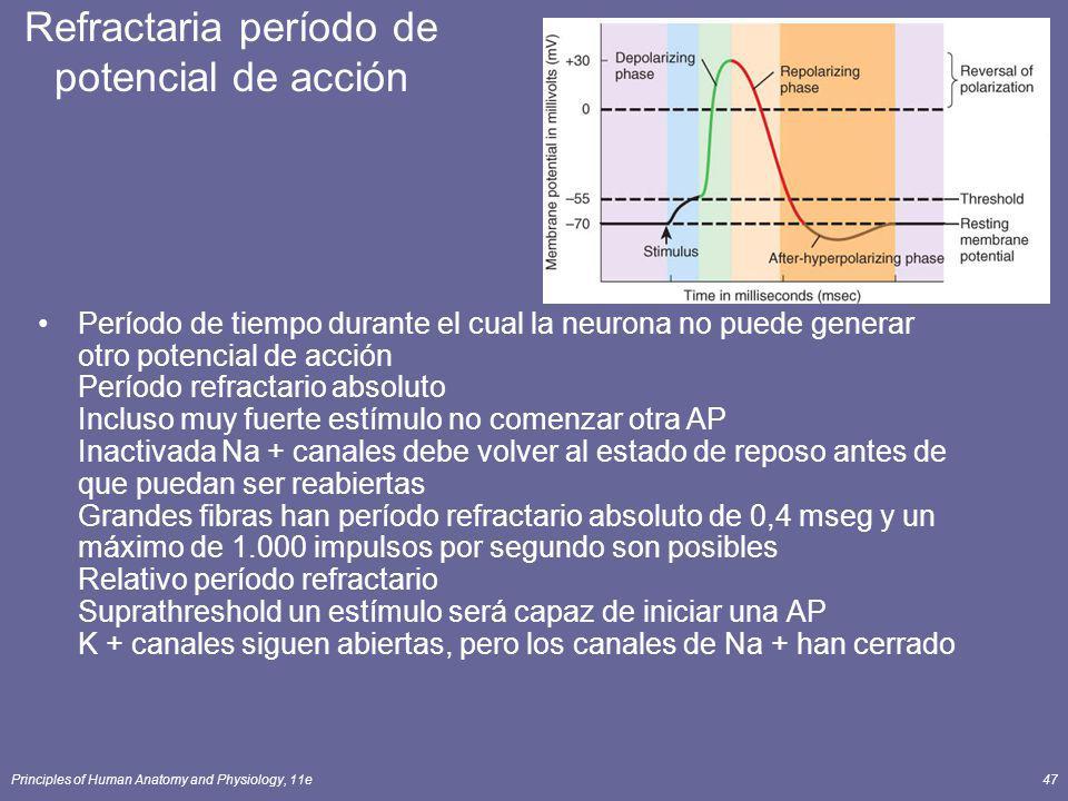 Principles of Human Anatomy and Physiology, 11e47 Refractaria período de potencial de acción Período de tiempo durante el cual la neurona no puede gen