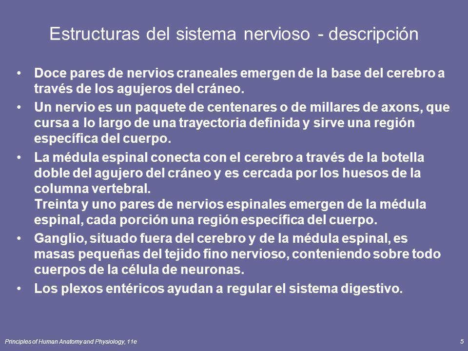Principles of Human Anatomy and Physiology, 11e16 Axones Impulsos de la conducta lejos del cuerpo de la célula Proceso cilíndrico largo, fino de la célula Se presenta en el hillock del axon Los impulsos se presentan del segmento inicial (la zona del disparador) Los ramas laterales (collaterals) terminan en los procesos finos llamados los terminales del axon Las extremidades hinchadas llamadas los bulbos sinápticos del extremo contienen las vesículas llenadas de los neurotransmisores Boutons sinápticos