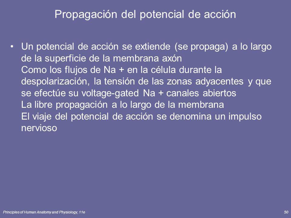 Principles of Human Anatomy and Physiology, 11e50 Propagación del potencial de acción Un potencial de acción se extiende (se propaga) a lo largo de la