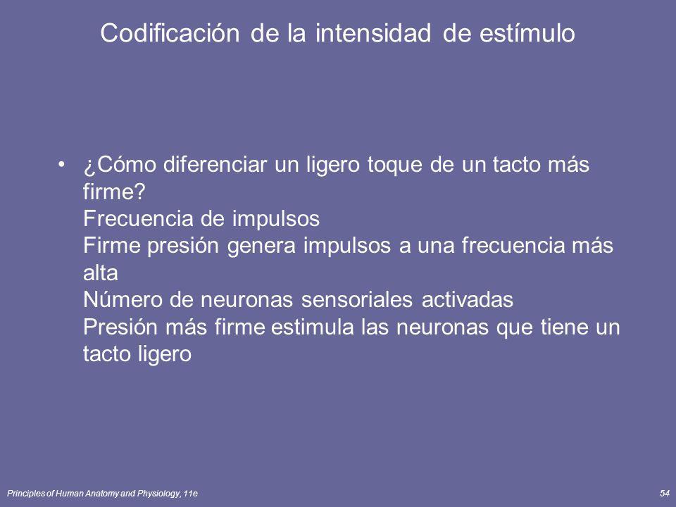 Principles of Human Anatomy and Physiology, 11e54 Codificación de la intensidad de estímulo ¿Cómo diferenciar un ligero toque de un tacto más firme? F