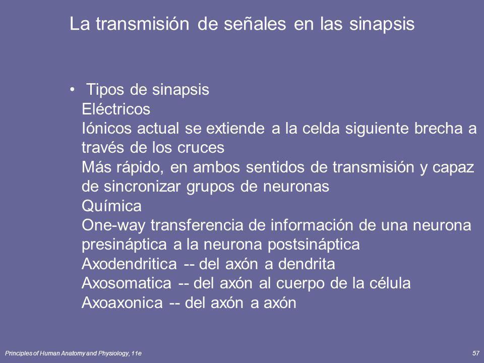 Principles of Human Anatomy and Physiology, 11e57 La transmisión de señales en las sinapsis Tipos de sinapsis Eléctricos Iónicos actual se extiende a