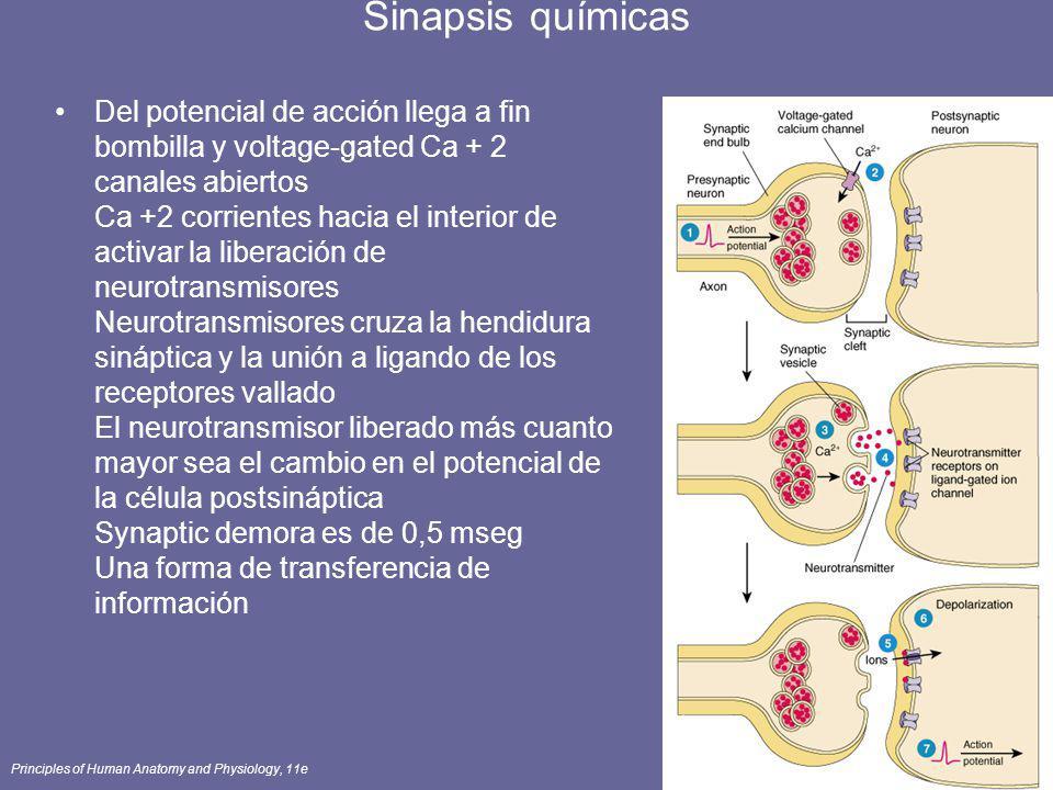 Principles of Human Anatomy and Physiology, 11e59 Sinapsis químicas Del potencial de acción llega a fin bombilla y voltage-gated Ca + 2 canales abiert