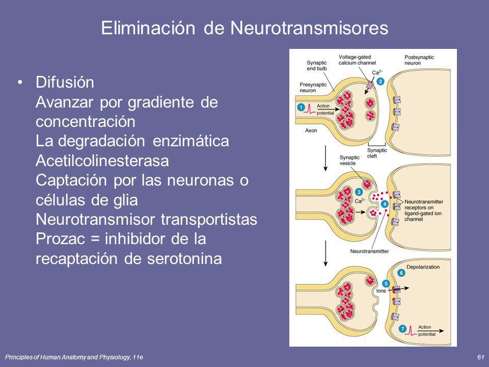 Principles of Human Anatomy and Physiology, 11e61 Eliminación de Neurotransmisores Difusión Avanzar por gradiente de concentración La degradación enzi