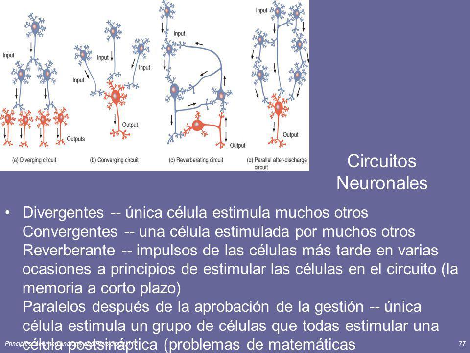 Principles of Human Anatomy and Physiology, 11e77 Circuitos Neuronales Divergentes -- única célula estimula muchos otros Convergentes -- una célula es