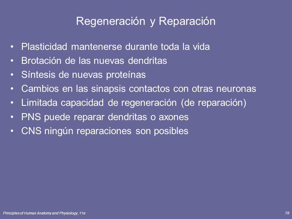 Principles of Human Anatomy and Physiology, 11e78 Regeneración y Reparación Plasticidad mantenerse durante toda la vida Brotación de las nuevas dendri
