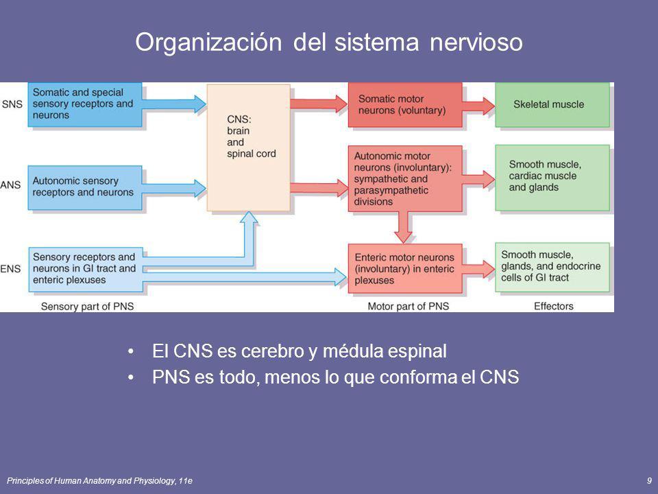 Principles of Human Anatomy and Physiology, 11e9 Organización del sistema nervioso El CNS es cerebro y médula espinal PNS es todo, menos lo que confor