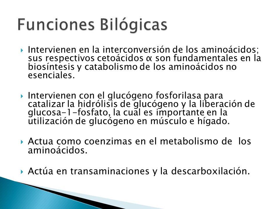 Intervienen en la interconversión de los aminoácidos; sus respectivos cetoácidos α son fundamentales en la biosíntesis y catabolismo de los aminoácidos no esenciales.
