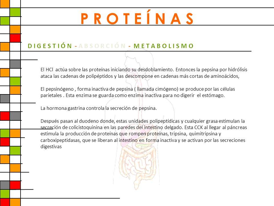 D I G E S T I Ó N - A B S O R C I Ó N - M E T A B O L I S M O El HCl actúa sobre las proteínas iniciando su desdoblamiento. Entonces la pepsina por hi