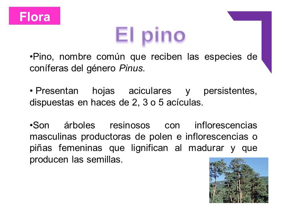 Flora Pino, nombre común que reciben las especies de coníferas del género Pinus. Presentan hojas aciculares y persistentes, dispuestas en haces de 2,