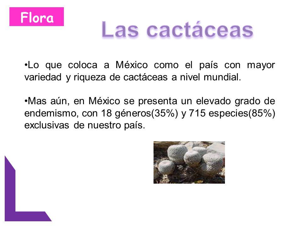 Flora Lo que coloca a México como el país con mayor variedad y riqueza de cactáceas a nivel mundial. Mas aún, en México se presenta un elevado grado d