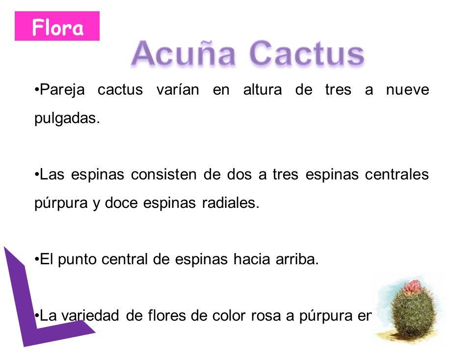 Flora Pareja cactus varían en altura de tres a nueve pulgadas. Las espinas consisten de dos a tres espinas centrales púrpura y doce espinas radiales.