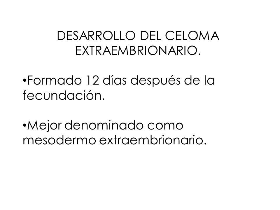 DESARROLLO DEL CELOMA EXTRAEMBRIONARIO. Formado 12 días después de la fecundación.