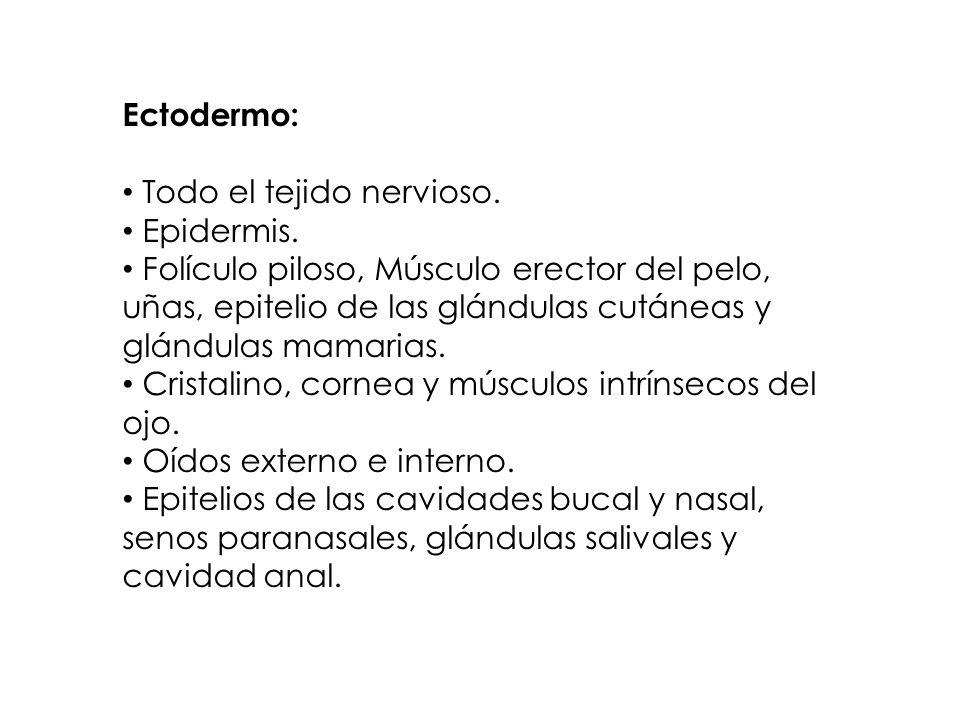 Ectodermo: Todo el tejido nervioso. Epidermis.