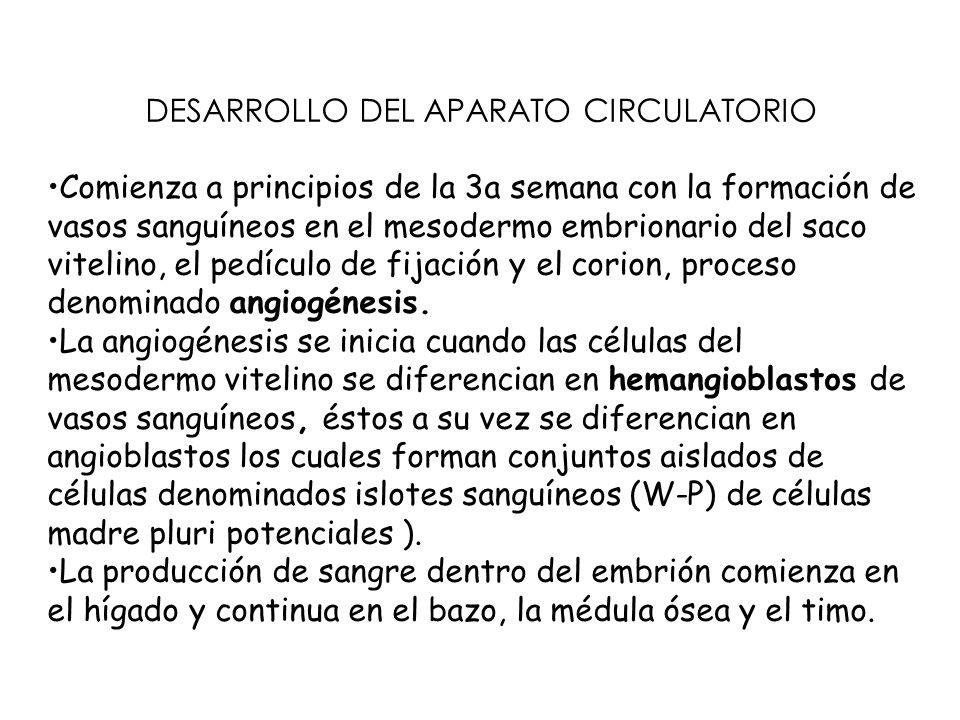 DESARROLLO DEL APARATO CIRCULATORIO Comienza a principios de la 3a semana con la formación de vasos sanguíneos en el mesodermo embrionario del saco vitelino, el pedículo de fijación y el corion, proceso denominado angiogénesis.