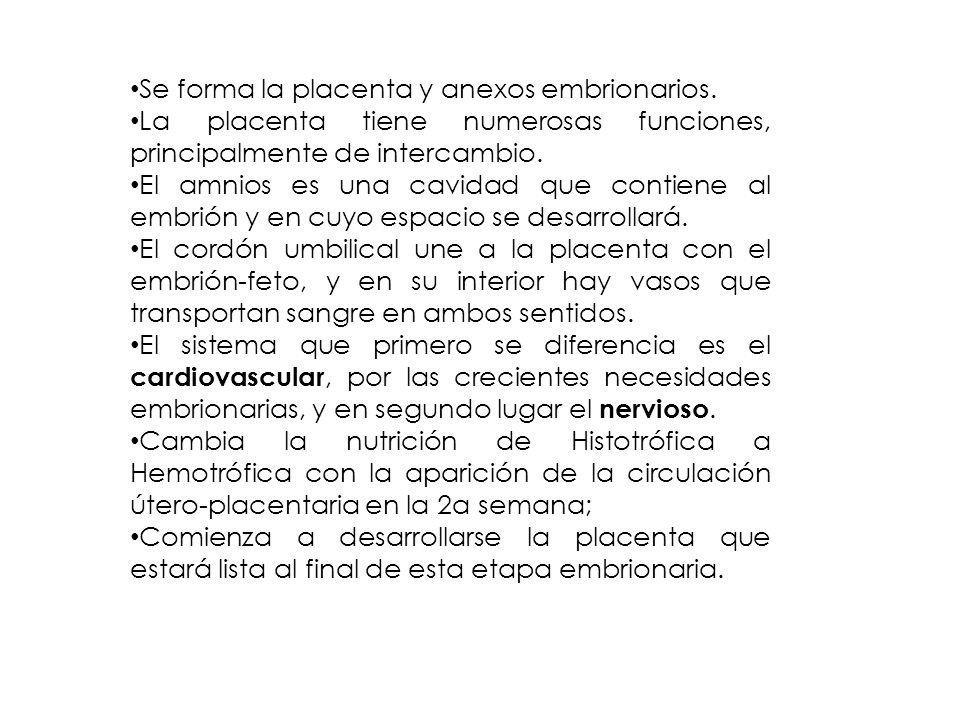 Se forma la placenta y anexos embrionarios.